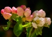 <b>Apple Blooms</...