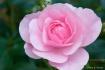 Baby Pink Rose