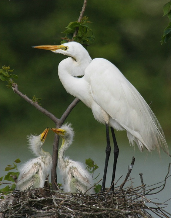 Egret Mother - ID: 6160151 © Kathy Reeves