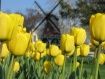 Yellow Tulips wit...