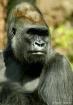 Silverback Gorill...