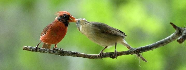Cardinals for Dinner