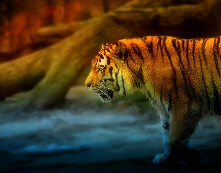TigerWalk 4