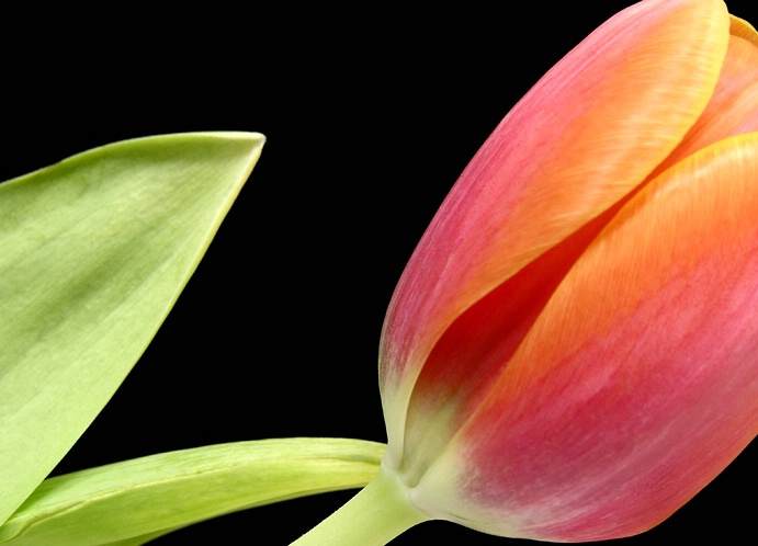 A Tulip