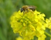Bee on crucifer