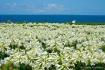 Ie Island Lily Fe...