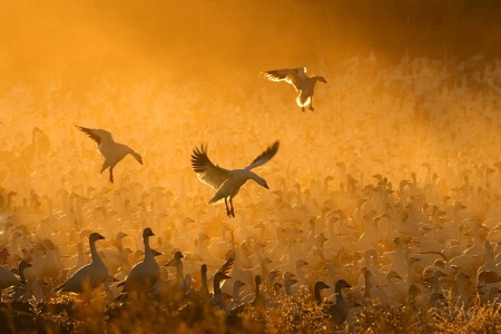 "Photography Contest Grand Prize Winner - May 2008: ""Geese in the Corn Dust"""