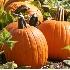 © michael g. hawkins PhotoID# 6228345: pumpkins