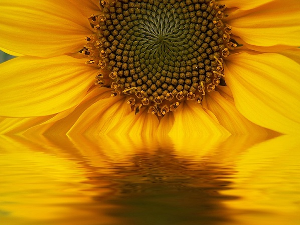 sunflower's reflection
