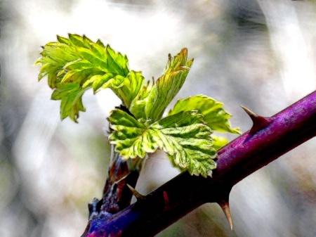 Thorn Vine Bud