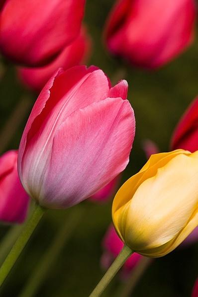 ** Tulips **