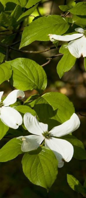 Spring Dogwood - ID: 6263787 © John Singleton