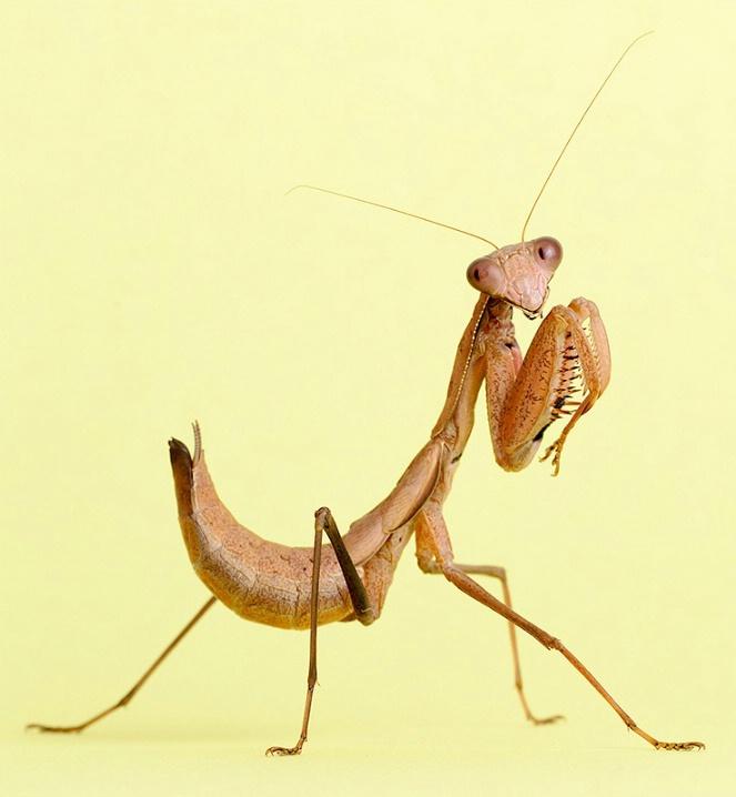 Madagascan Marbled Mantis