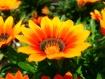 Orange Flora 1