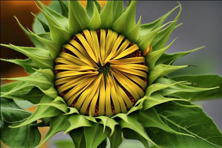 Sunflower Emerging