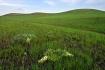 Plains Indigo