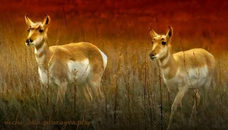 Antelope Island Antelope