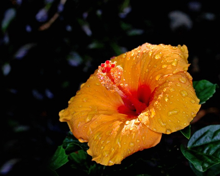 Hibiscus - ID: 6283502 © Ken Sikkema