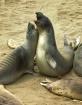 Elephant Seals Pl...