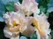 Wilma's Roses