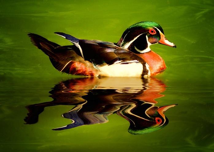 """No Ordinary """"Quack"""""""