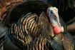 Wild Turkey Close...