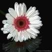 Pink & White Deli...