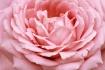 ~ Soft Pink ~