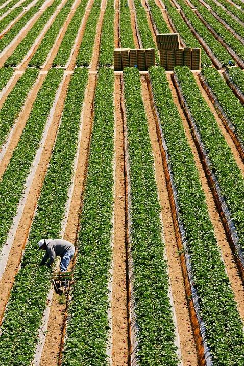 Picking Stawberries