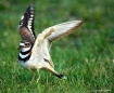 Killdeer 2