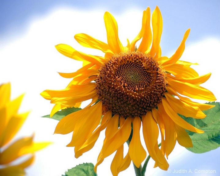 sun worshipper - ID: 6330766 © Judith A. Kambara