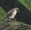 Hawks Catch