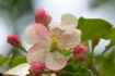 blossem blush