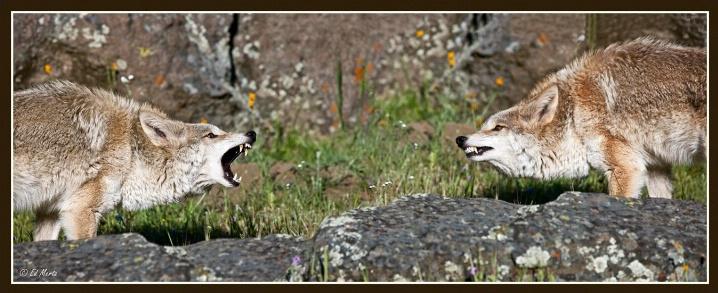 Coyote Conflict - ID: 6347583 © Edward H. Mertz