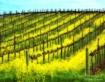 Vineyard Dreaming