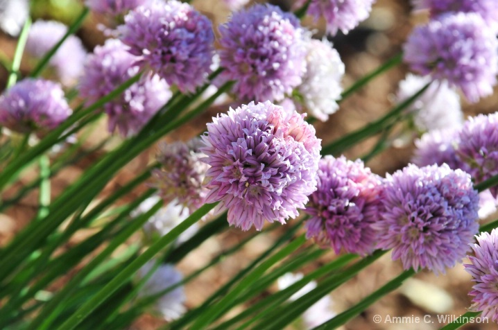 Chives...