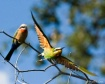 Bee-eater Flight
