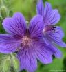 Simply Purple
