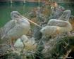 Gray Pelican Nest...