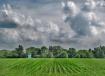 Stormy Cornfield