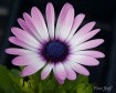 Purple Gerbera Da...