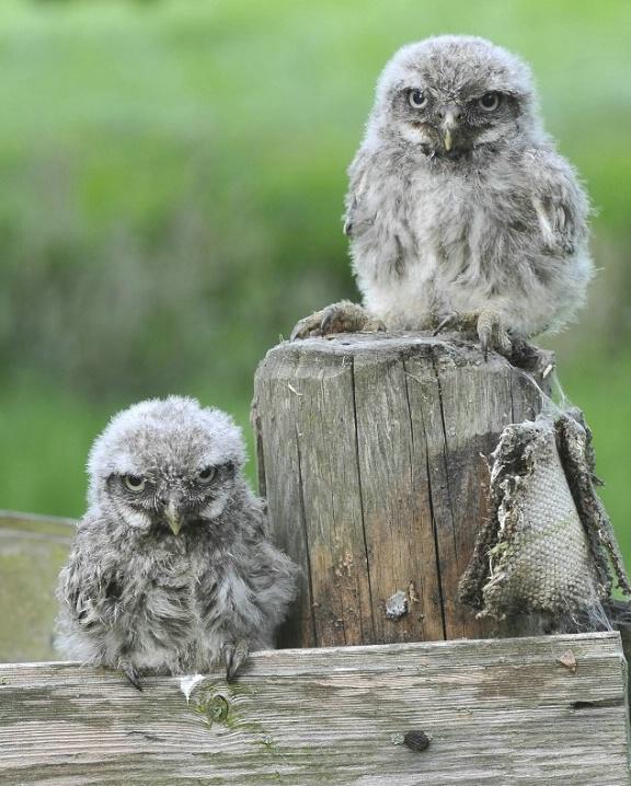 Baby little owls