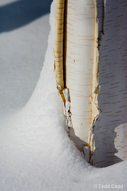 Birch in Winter - ID: 6411405 © Tedd Cadd