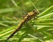 Orthetrum cancell...