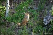 fox_after_eating_...