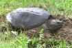 Snapping turtle t...