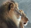 Lions Watching Mo...