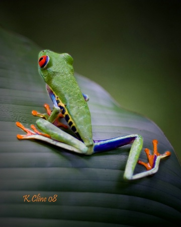 Frogger in Costa Rica on his leaf