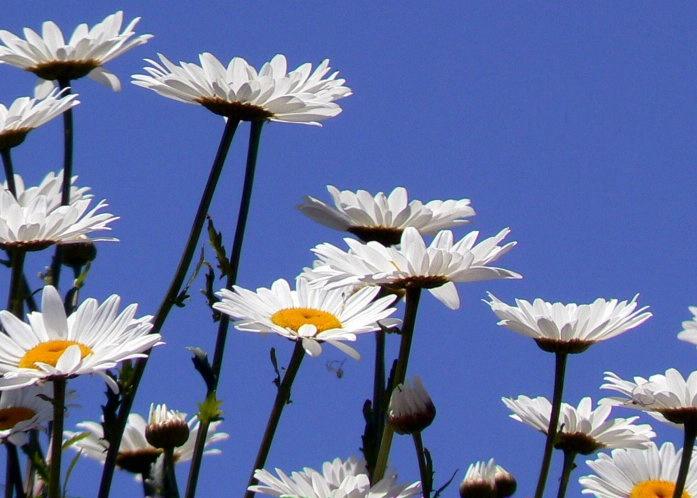 daisies in sky
