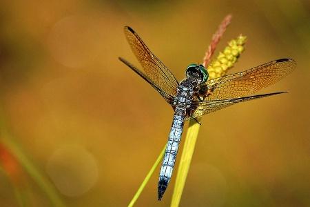 ~Dragonfly~